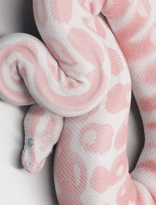 This is an albino corn snake. I will not have any of snake breeds as a pet. I know they are kind animals deadly as they are. (Kinder than rabid dogs.) They belong to the wild not in our homes. Notice that pet owners adapt to their snake pets, and not the pet adapting to their domestication? - Love, Grace