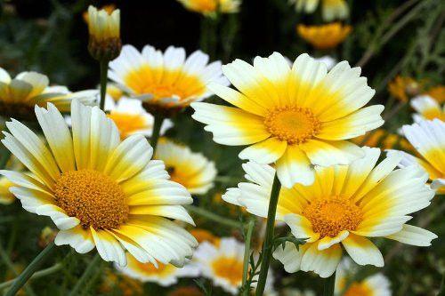 Chrysanthemum Coronarium Edible Garland Daisy Flowers - 1,000 Seeds