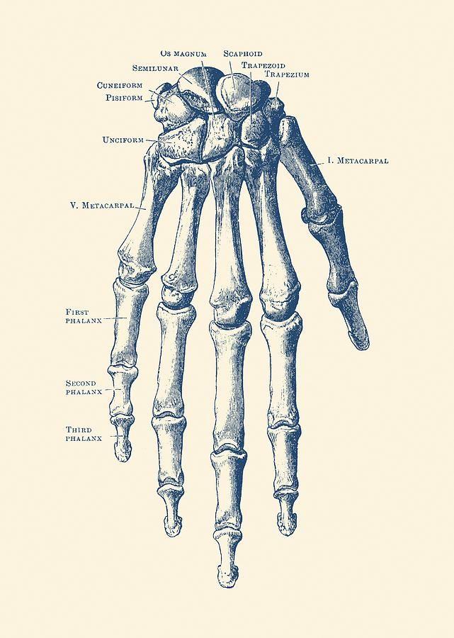 Skeleton Hand Drawing Down Facing Hand Skeletal Diagram Anatomy Print By Vintage Anatomy Prints Human Anatomy Drawing Human Anatomy Art Medical Drawings