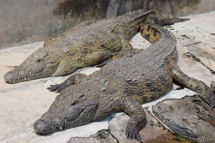 Best 25+ Nile crocodile ideas on Pinterest