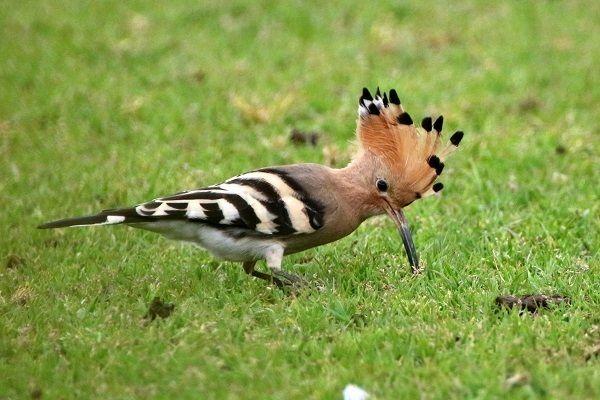 珍鳥「ヤツガシラ」 春の訪れ告げる 長崎県五島市