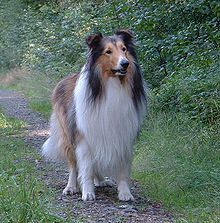 Collies - best dog ever!