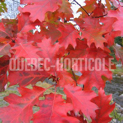 image de Quercus rubra