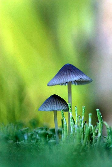 Psilocybe mexicana ~ Psilocybin mushrooms