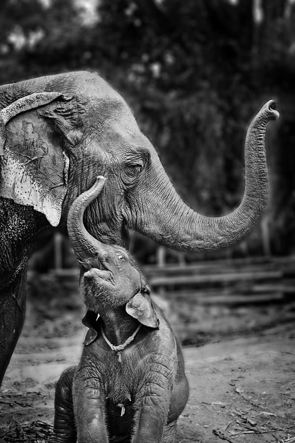 Happy Elephant Photograph. Werachai Sookruay