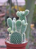 Opuntia Mini  Cactus Plant