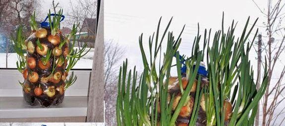 Possiamo coltivare le cipolle in casa, basta una bottiglia e magari un balcone o un terrazzo