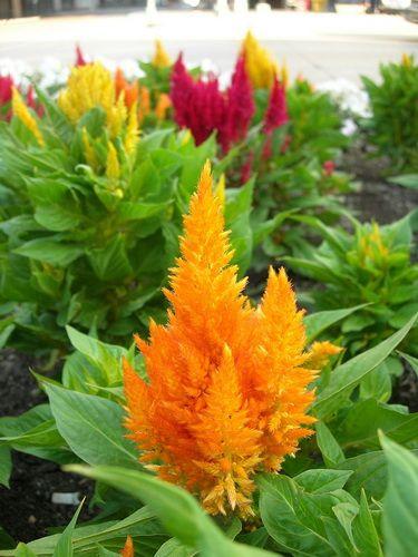 Целозия — пламенная красотка.  Название целозии происходит от греческого слова kelos («горящий», «пылающий»), что объясняется яркой окраской и формой соцветий, похожей на языки пламени. Бархатистые экзотические соцветия разнообразных целозий прекрасно смотрятся в самых изысканных цветочных композициях, расцвечивая наши сады.  Изумительные по красоте низкорослые горшечные целозии – нарядное украшение солнечной лоджии и балкона.  Фото © Dan McKay