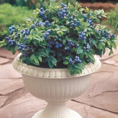 Container Blueberry Plant Top Hat