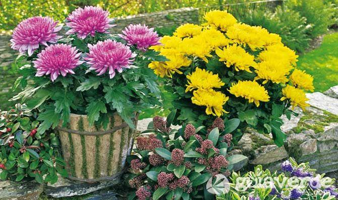 Crisantemo, una flor imperial