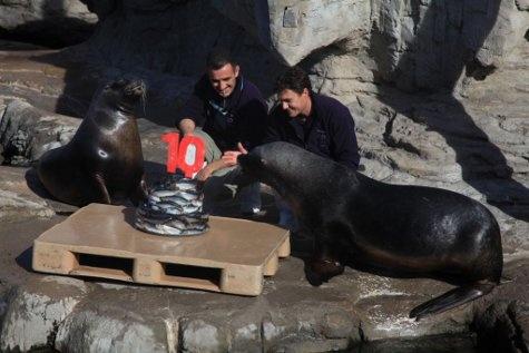 Los leones marinos celebrando con una tarta especial el décimo aniversario del Oceanogràfic