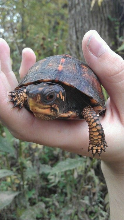 eastern box turtle, warwick ny. http://www.jw.org/en/jehovahs-witnesses/activities/construction/environment-wildlife-protection-warwick/