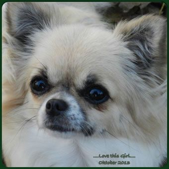 Chihuahua kennel Chickatjieka | Lieve chihuahua honden foto's
