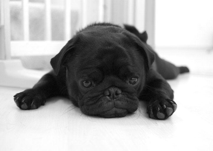 black pugs: Toys Dogs, Animal Pics, Blackpug, Pugs Puppies, Black Dogs, Pet, Black Pugs, Grey Beards, Pugs Life