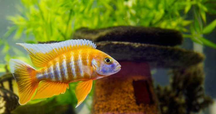 10 Best Images About African Cichlids On Pinterest