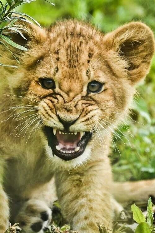 Ferocious Baby Lion