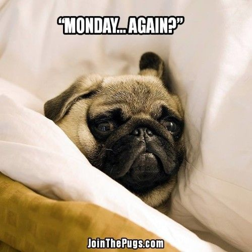 """How can it be #Monday again?"" www.jointhepugs.com #pugpower #pugsnotdrugs #pugpuppy #puglover #dogs #cuteness #pugs #pugoftheday"