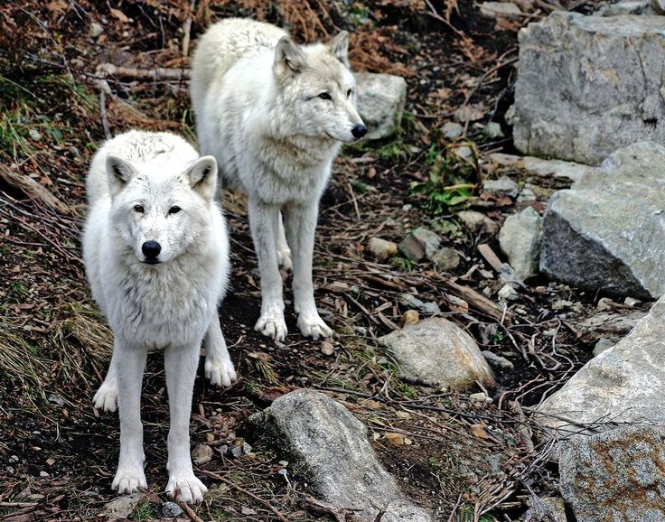 Arctic Wolves Photo by Paul Yates -- National Geographic Your Shot