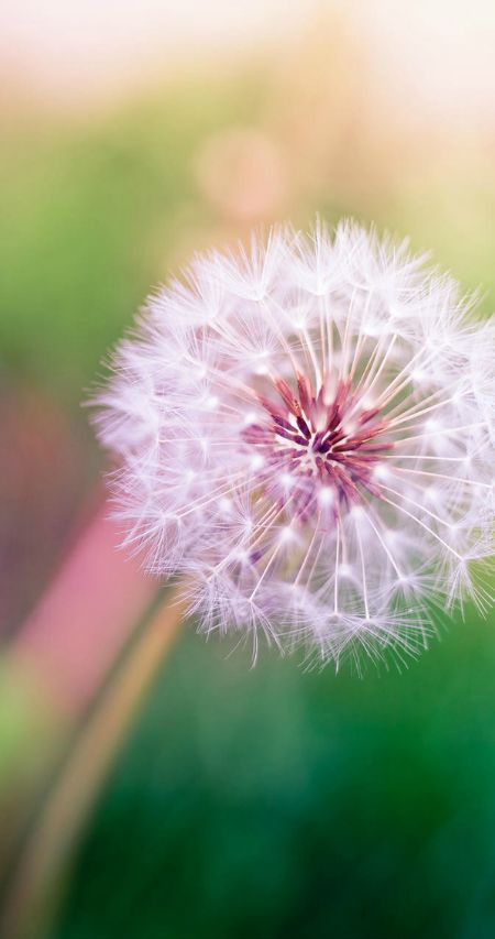 17 best images about make a wish on pinterest dandy i for Dandelion flowers and gifts
