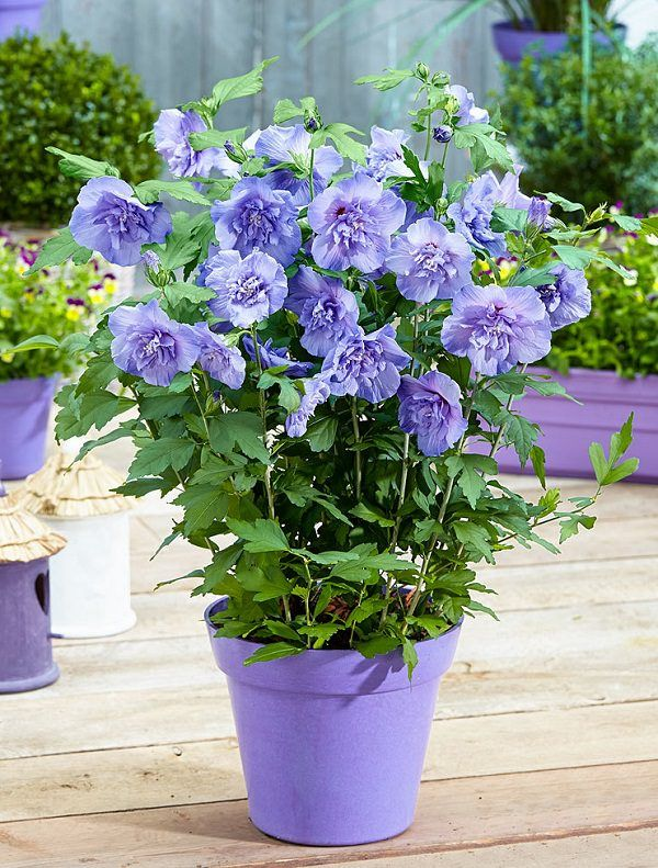 Splendid  Best Ideas About Blue Flowers On Pinterest  Light Blue  With Interesting Best Blue Flowers To Grow In Containers Garden Centrechiffonbeautiful  With Beautiful Garden Arbours Also Leisuregrow Garden Furniture Covers In Addition Garden Hill Medical Centre And Miniature Garden As Well As Outdoor Garden Center Additionally Alexander Rose Garden Furniture Sale From Pinterestcom With   Interesting  Best Ideas About Blue Flowers On Pinterest  Light Blue  With Beautiful Best Blue Flowers To Grow In Containers Garden Centrechiffonbeautiful  And Splendid Garden Arbours Also Leisuregrow Garden Furniture Covers In Addition Garden Hill Medical Centre From Pinterestcom
