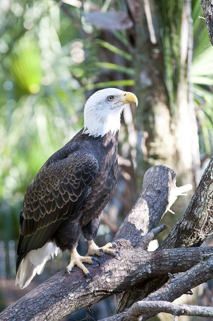 324 best images about American Bald Eagle on Pinterest | Bold ...