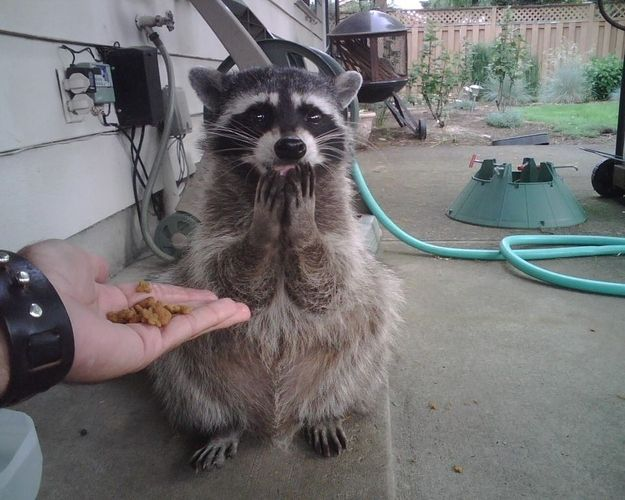 "A raccoon was overwhelmingly grateful for some treats. ""For me?"" asked the raccoon. ""Yep, for you, buddy. No one else around here even eats raccoon food."" 