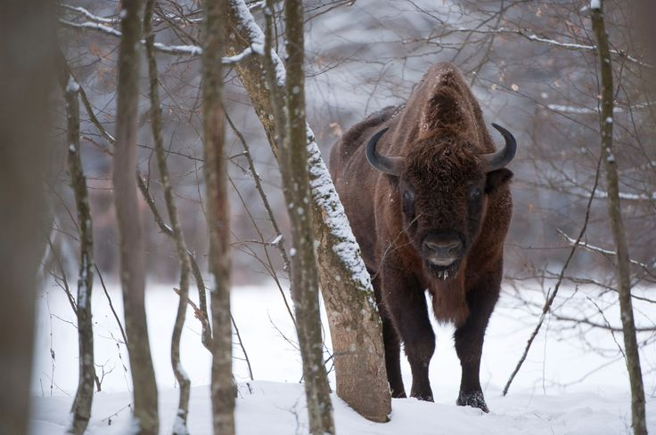 Tall, dark and handsome: the European bison by Wild Wonders of Europe
