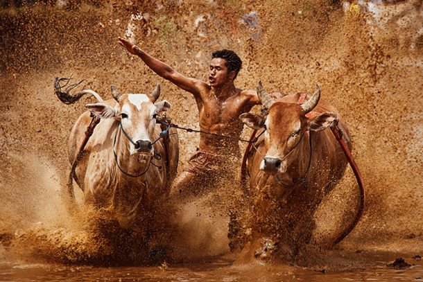 This is a fantastic capture of an Indonesian cow race (also known as pacu jawi).