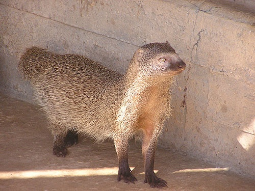 Best 25+ Mongoose ideas on Pinterest | Mongoose animal ... | 500 x 375 jpeg 94kB
