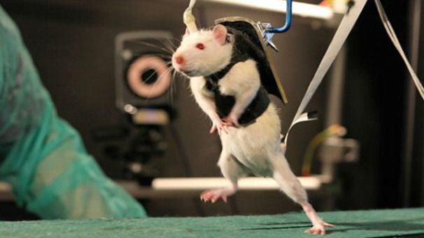 Spinal cord repair helps paralyzed rats walk again, maybe this technology will be improved to use on humans.: Robots, Climbing Stairs, Spinal Cords, Rats Walks, The Brain, Health, Paralyz Rats, Cords Injury, Science