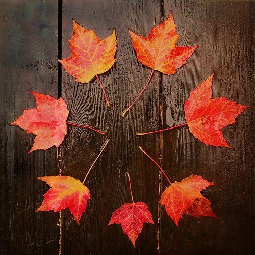 I love maple leaves: Environment Art, Fall Leaves, Autumn Leaves, Fall Autumn, Art Leaves Trees Grov, Autumn Art, Taylors Swift, Leaf Wreaths, Maple Leaves