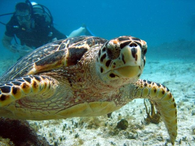Scuba Diving in Bonaire, click here to read all about the turtles around Klein Bonaire!