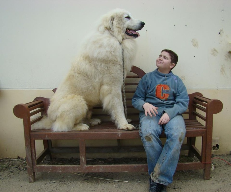 29 Best Breed Board Great Pyrenees Images On Pinterest