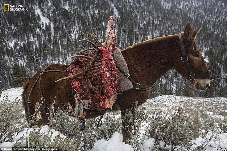 Hunting parties organized by the hunting outfitter Hell's a-Roarin' near Jardine on the boundary of Yellowstone National Park use a donkey to carry a carcass