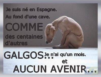 Chaque année, en Espagne, à la fin de la saison de chasse au lièvre, en janvier, 8000 lévriers de chasse (galgos), sont abandonnés ou tués dans des conditions atroces par leur maître. Mettons un terme à ce massacre.  Signez la pétition  http://www.30millionsdamis.fr/agir-pour-les-animaux/petitions/signer-petition/sauvons-les-galgos-18.html