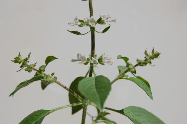 Ocimum tenuiflorum' Holy basil' A delicate rich scented basil  that shares a religious, medicinal and culinary history.
