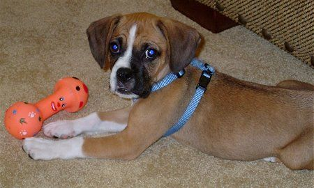 "This is a ""bogle"" - boxer/beagle mix - looks just like our Auggie."
