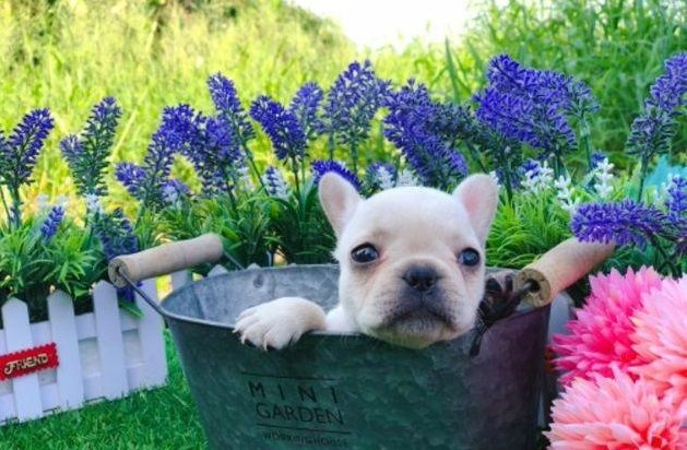 French Bulldog Puppy For Sale In New York Ny Usa Adn 101578 On
