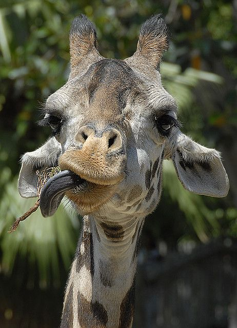 giraffe - look at that expression!!! lol