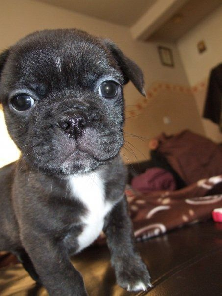 Best Food For Puppies >> 12 best images about Bullshit Puppy Breed on Pinterest ...