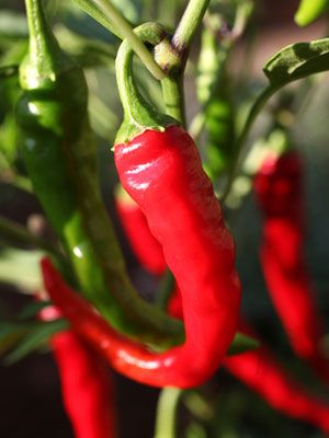 Chilli Pepper Grow Guide