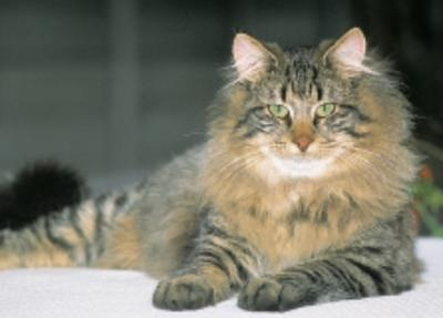 Norwegian Forest cat.Norwegian Forest Cat, Cat Animal, Maine Coon, Google Search, Norwegian Forests Cat, Silly Kitty, Kittens, Gorgeous Cat, Cat Breeds