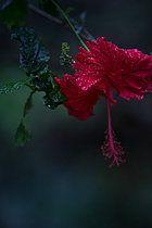 Schöne Blüte mit Regentroofen, Sao Tome, Sao Tome und Príncipe, Afrika