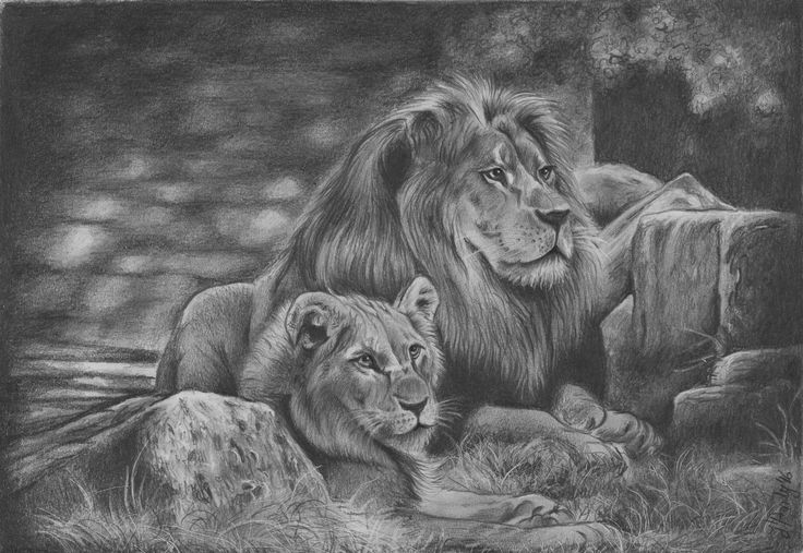 Lions family pencil drawing
