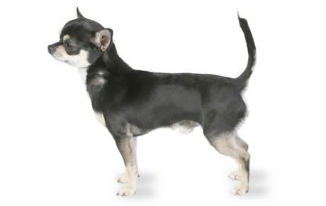 Chihuahua information including pictures, training, behavior, and care of Chihuahuas and dog breed mixes.