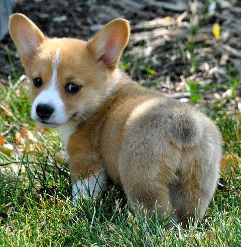 Corgie puppy (aids walk puppy)