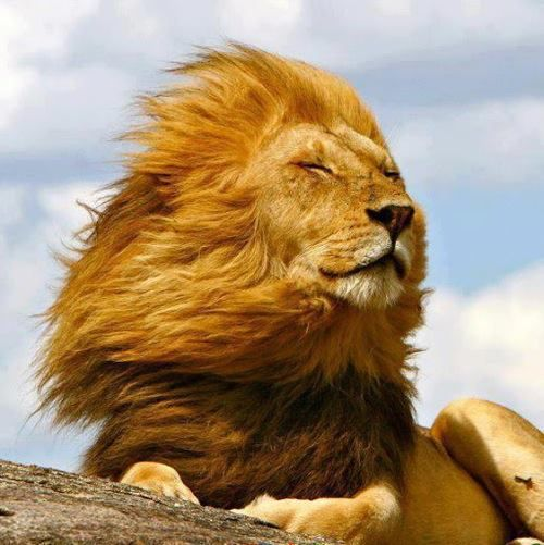Magnificent! #Lion in the wind. | From @GuessQuest collection