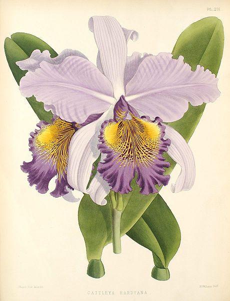 Cattleya × hardyana botanical illustration, 1886.