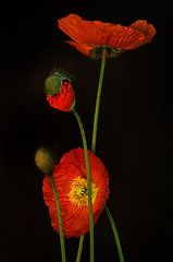 Red Oriental Poppy Photographs - Odyssey  by Toni Chanelle Paisley