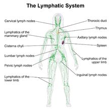 The lymphatic system includes lymph nodes, lymph ducts and lymph vessels, and also plays a role in the body's defenses. Its main job is to make is to make and move lymph, a clear fluid that contains white blood cells, which help the body fight infection. The lymphatic system also removes excess lymph fluid from bodily tissues, and returns it to the blood.